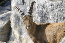 Reintroduzione dello stambecco (Capra ibex) nelle Pale di San Martino