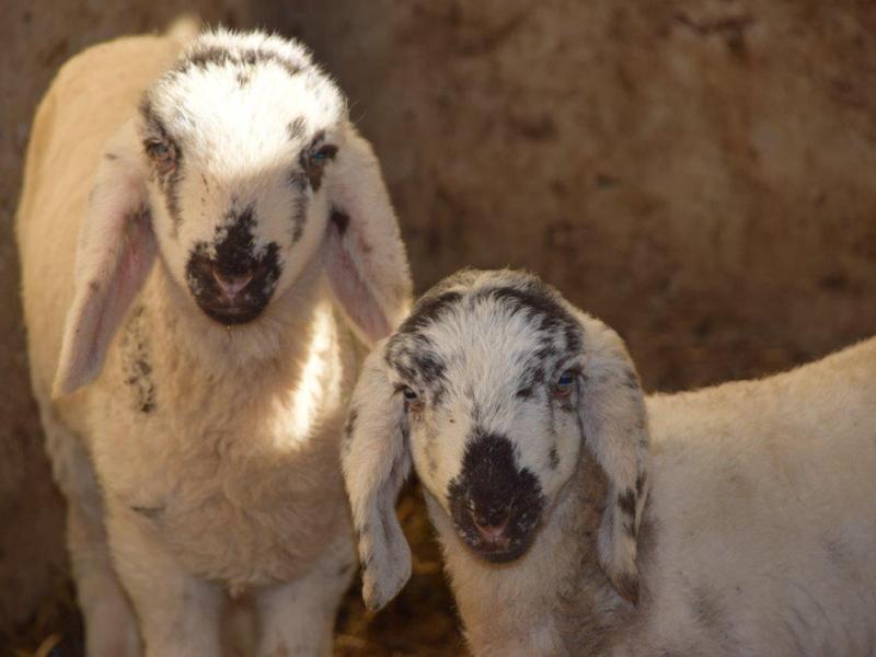 Agnellini di pecora di Lamon in Val Canali 1