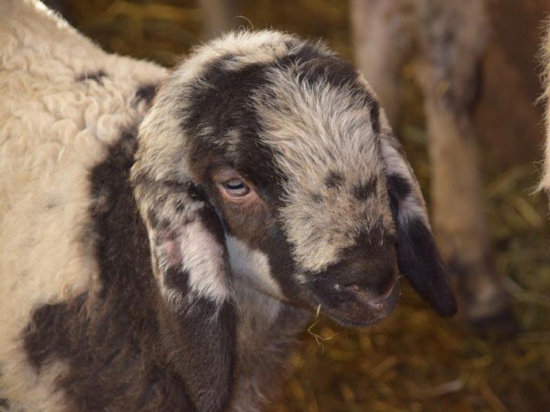 Agnellini di pecora di Lamon in Val Canali 2