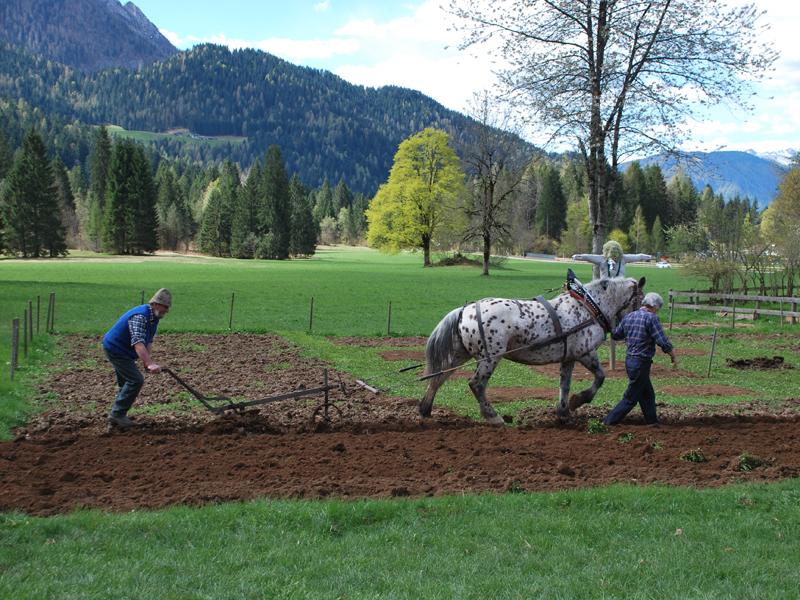 Aratura tradizionale con cavallo norico