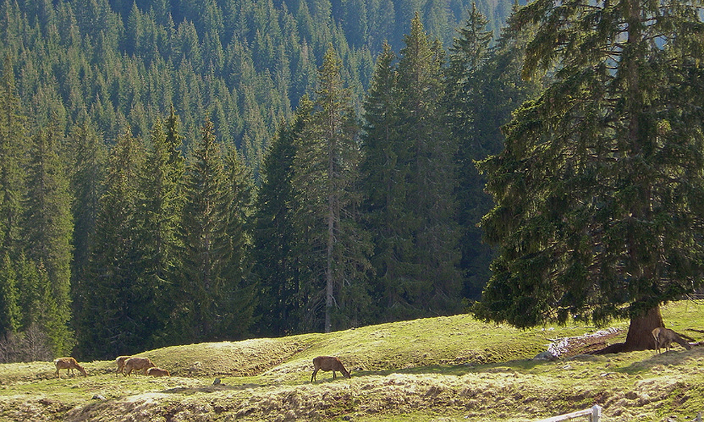 Cervi a Paneveggio