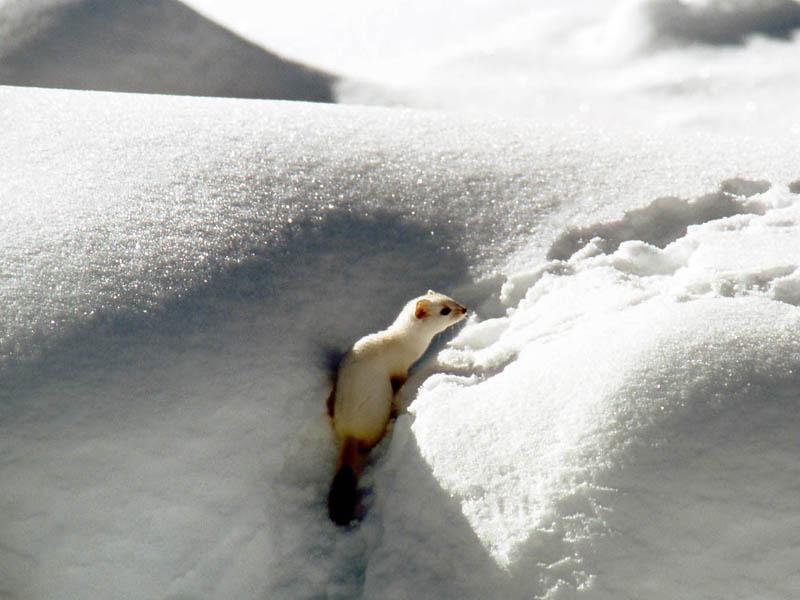 Ermellino sulla neve