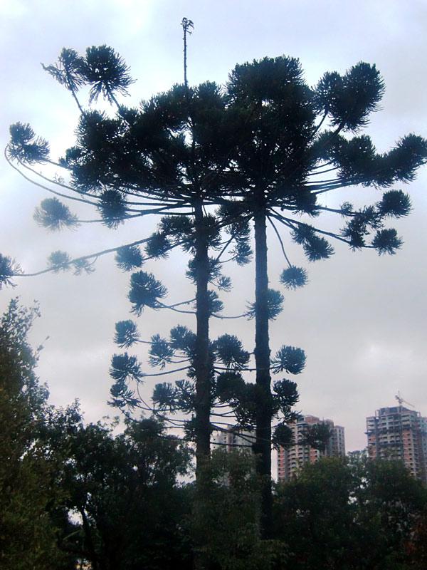 Esemplare di Araucaria