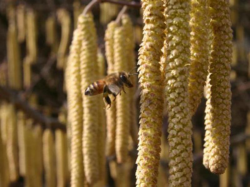 Riprende il bollettino dei pollini
