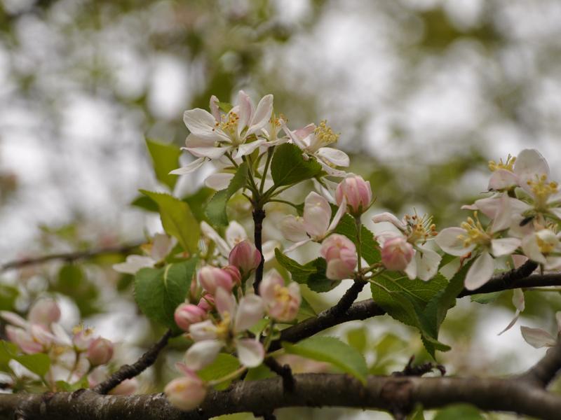 Il melo in fiore