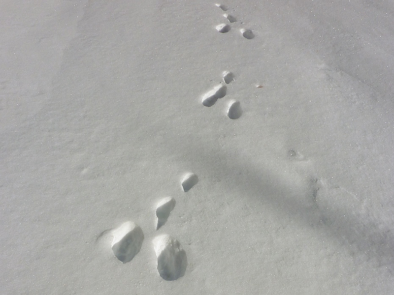 Impronte di lepre variabile (foto M. Lussana)