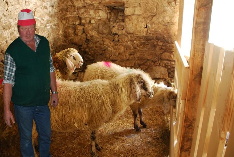 Le pecore di razza Lamon con l'allevatore