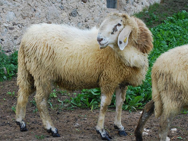 Pecora razza Lamon