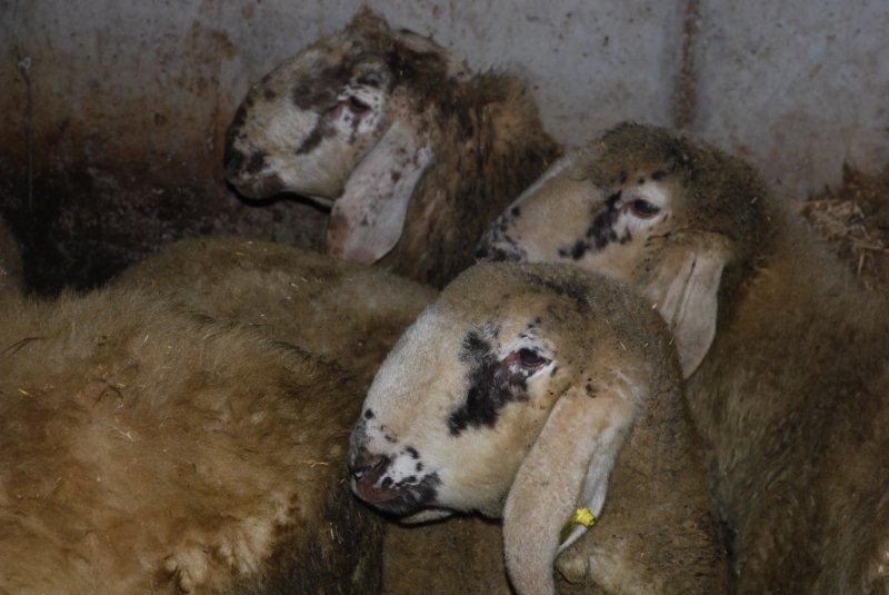 Pecore Lamon, i nuovi arrivi in Val Canali