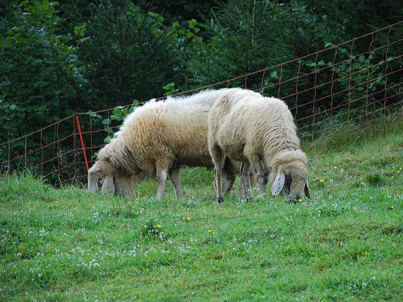 Reintroduzione della pecora di razza Lamon