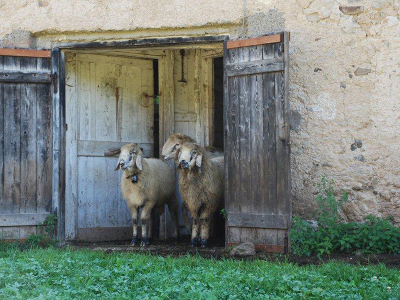 Pecore razza Lamon in Val Canali