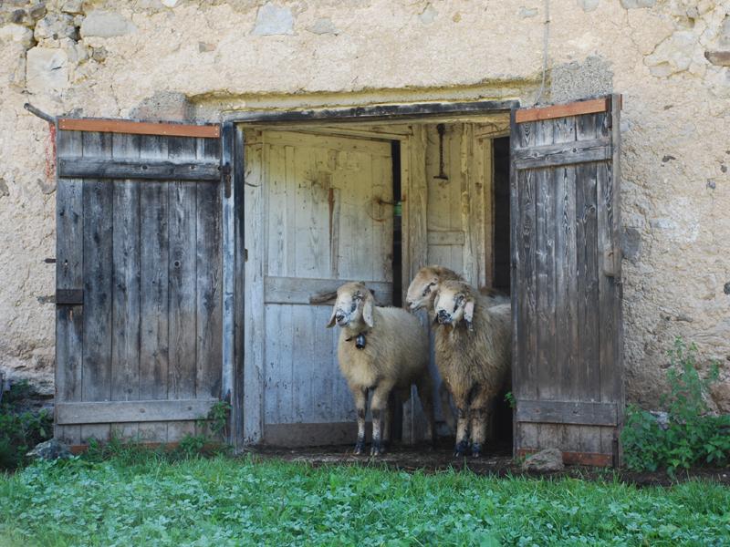 Pecore razza Lamon