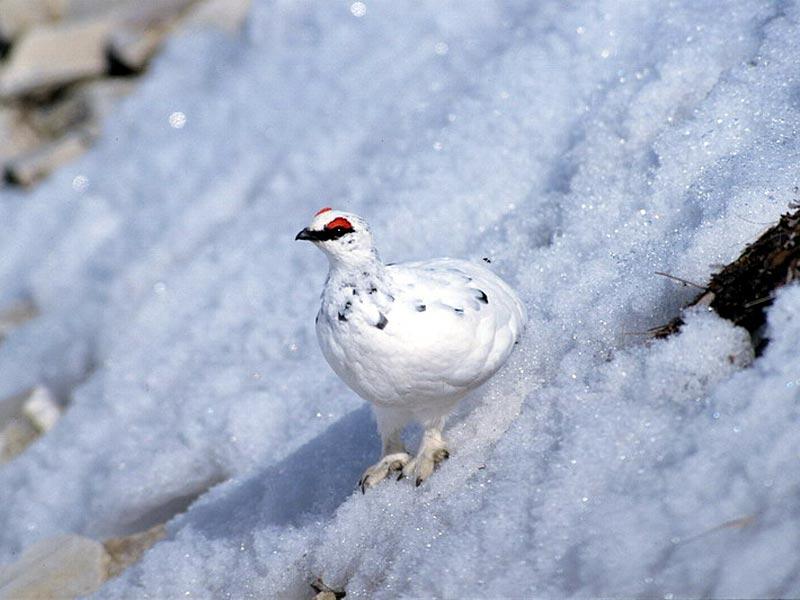 Pernice bianca in inverno