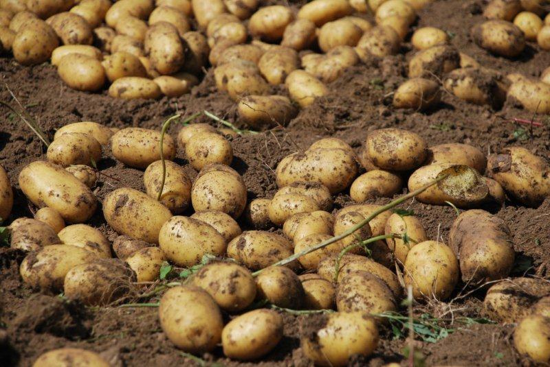 Raccolto di patate gialle nell'Orto custode a Villa Welsperg