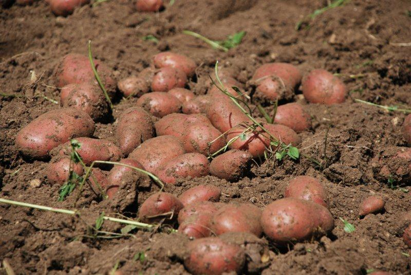 Raccolto di patate rosse nell'Orto custode di Villa Welsperg