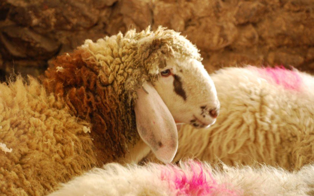 """Reintrodotta in Val Canali la pecora di """"razza Lamon"""""""