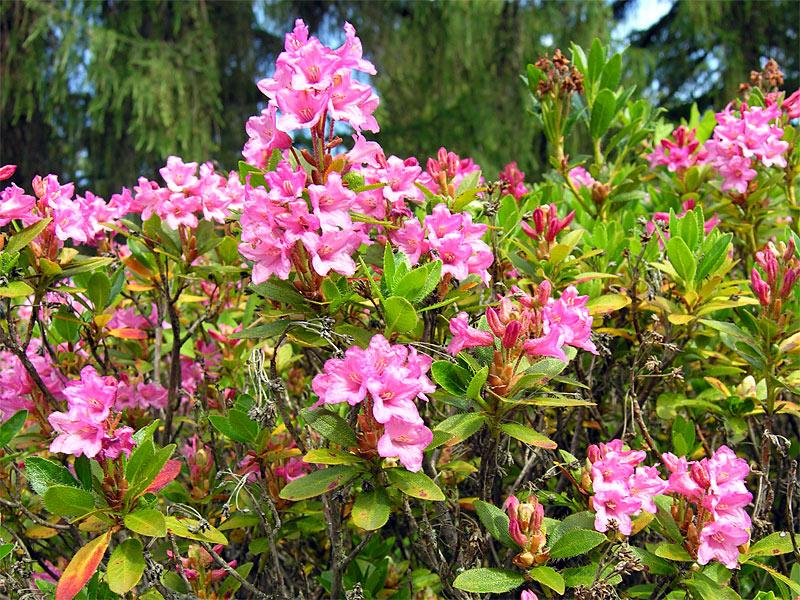 Rododendro irsuto - Rhododendron hirsutum