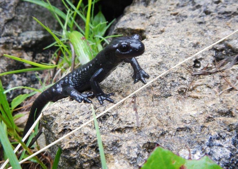 Salamandra atra