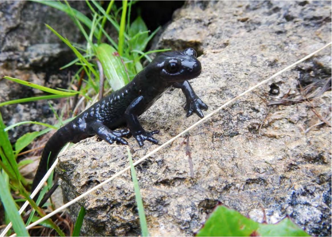 salamandra-nera