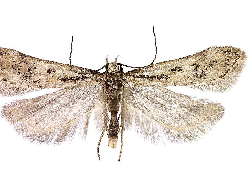 Sattleria - maschio. Foto Marco Uliana Museo di Storia Naturale di Venezia