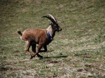 Il Progetto di reintroduzione dello stambecco (Capra ibex) nel Massiccio delle Pale di San Martino