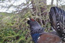 Ricerca, monitoraggio e conservazione del Gallo cedrone nell'area protetta