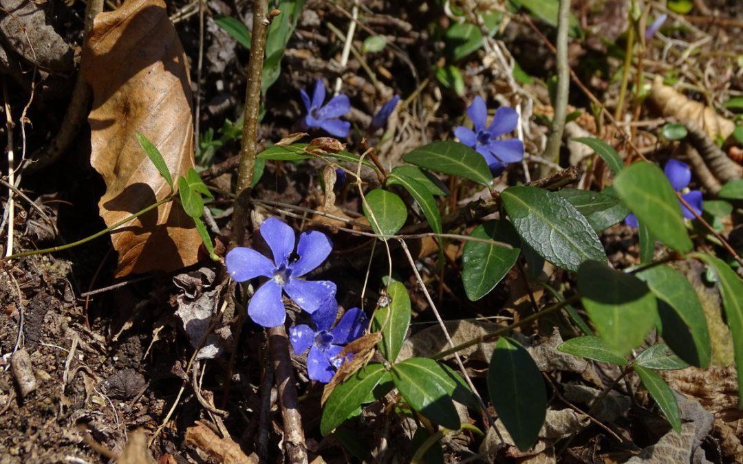 Piccola flora primaverile di sottobosco