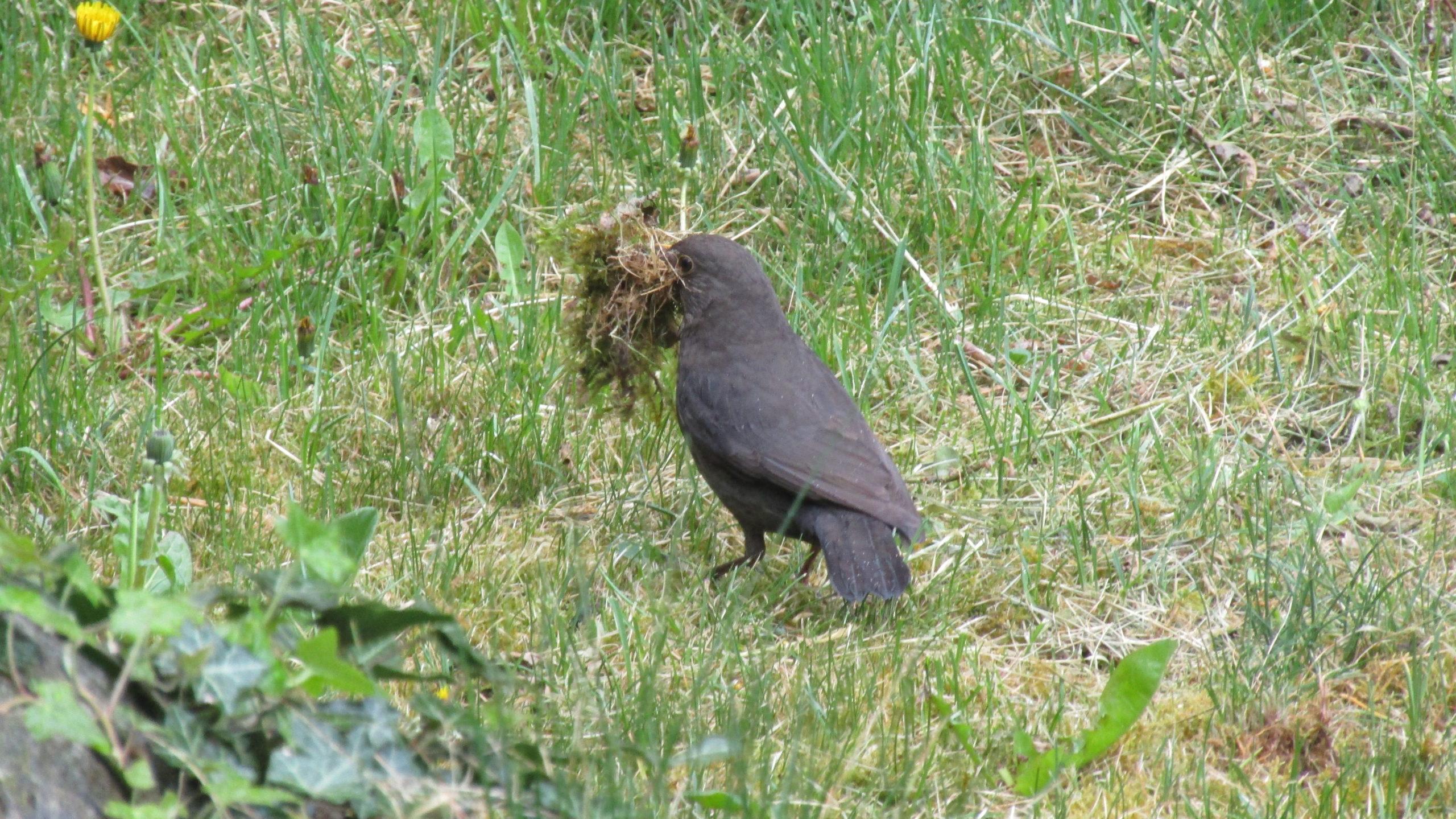 Merla con materiale per il nido