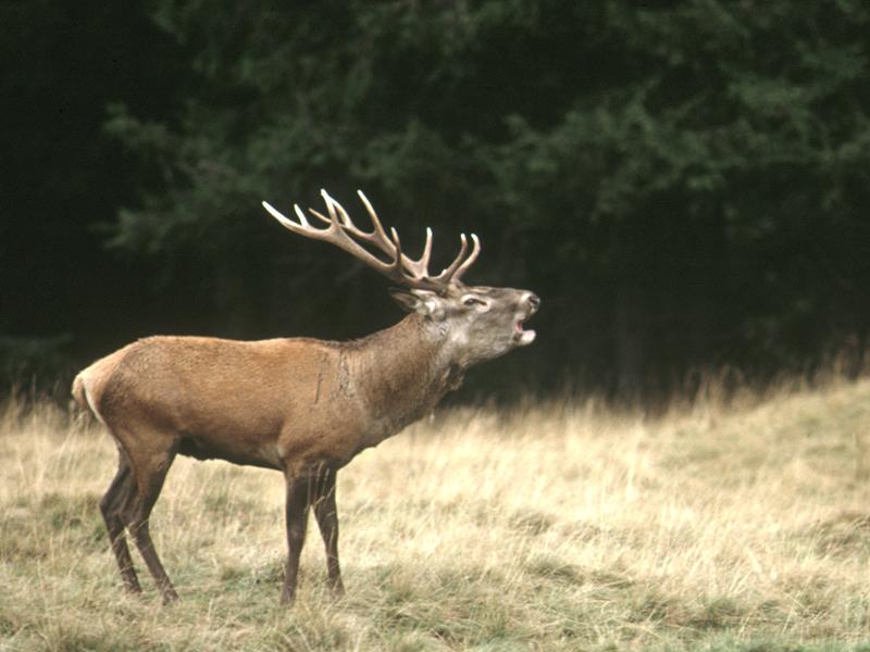 cervo-3