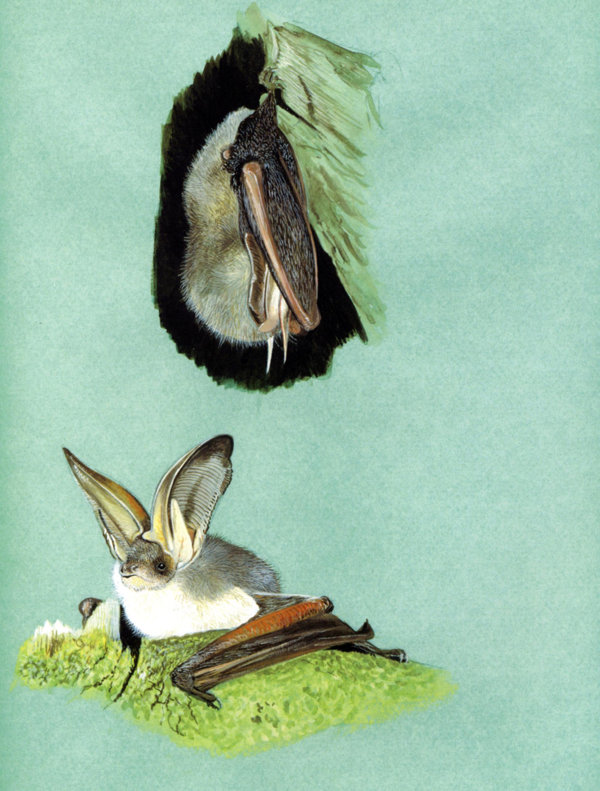 Orecchione alpino (Plecotus macrobullaris)