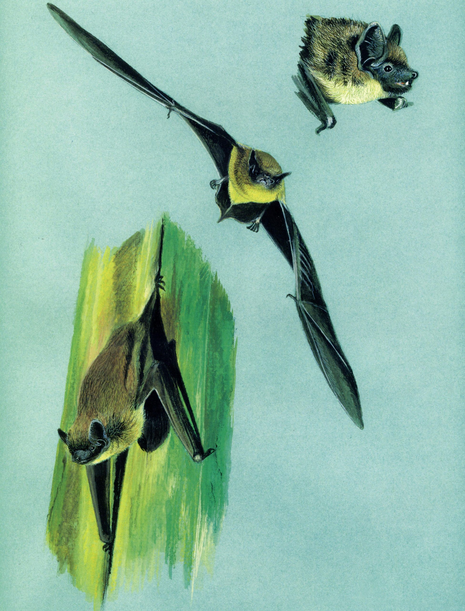 Serotino comune (Eptesicus serotinus)