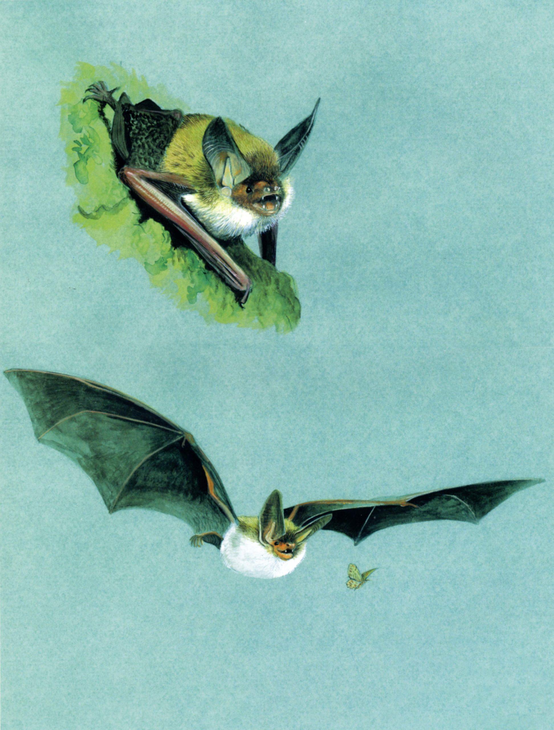 Vespertilio di Bechstein (Myotis bechsteinii)
