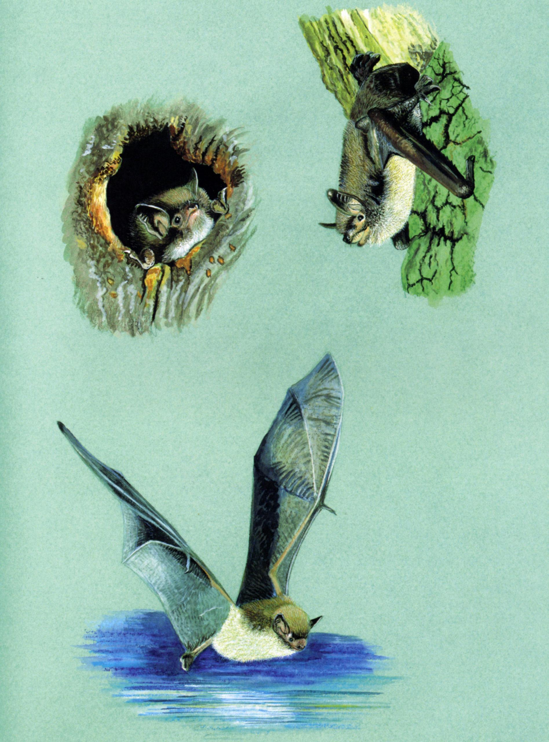 Vespertilio di Daubenton (Myotis daubentonii)