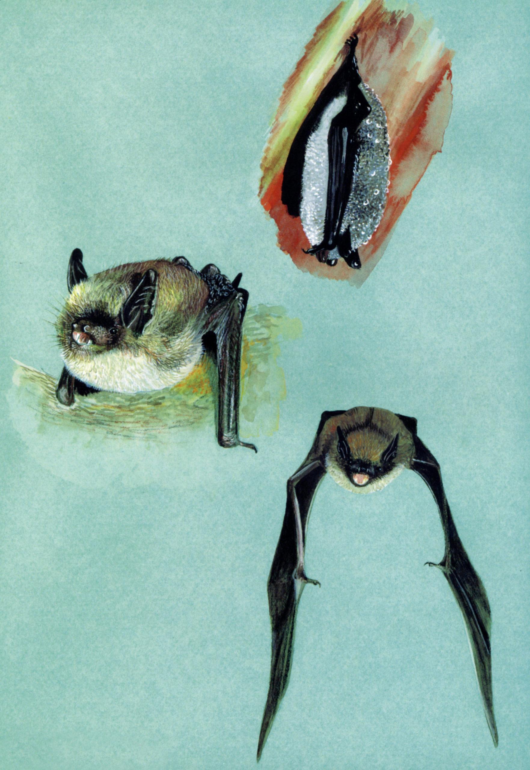 Vespertilio mustacchino (Myotis mystacinus)