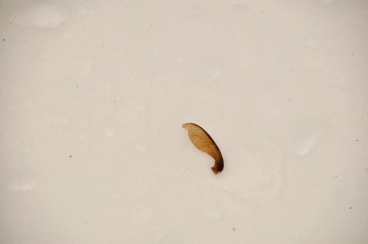 Seme alato di Acero di monte (disamara)