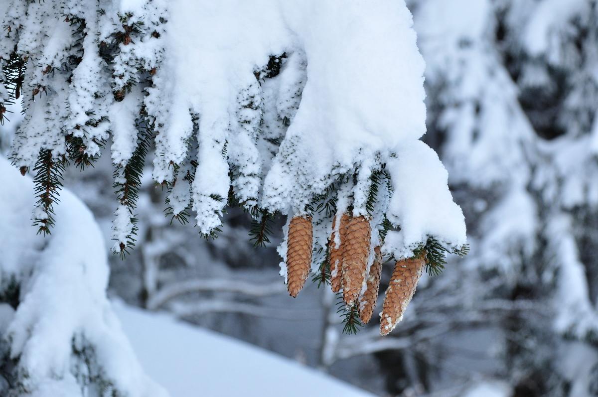 Alberi, questo inverno tanta neve e tanti semi