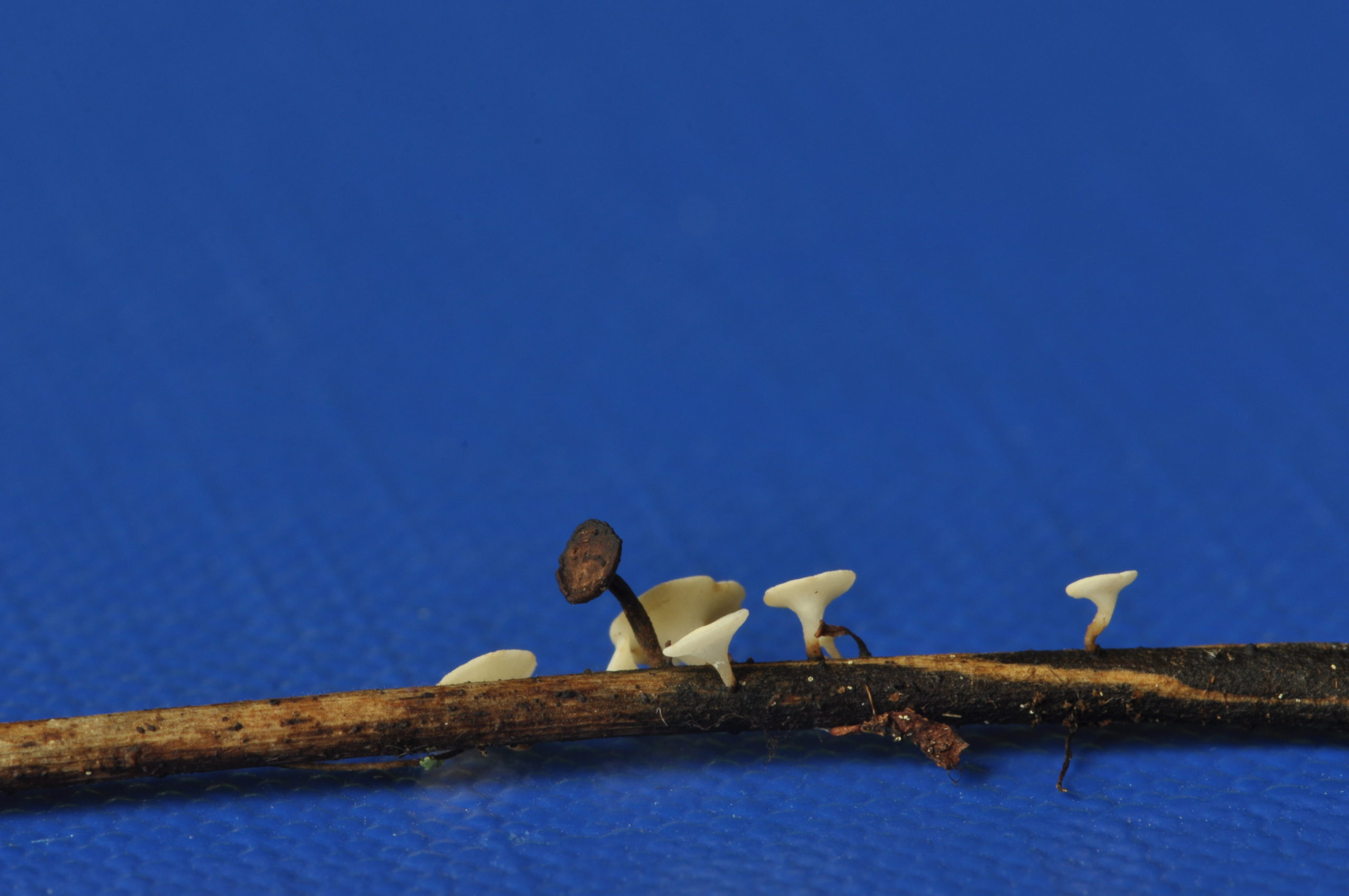 Corpi fruttiferi di Hymenoscyphus fraxineus