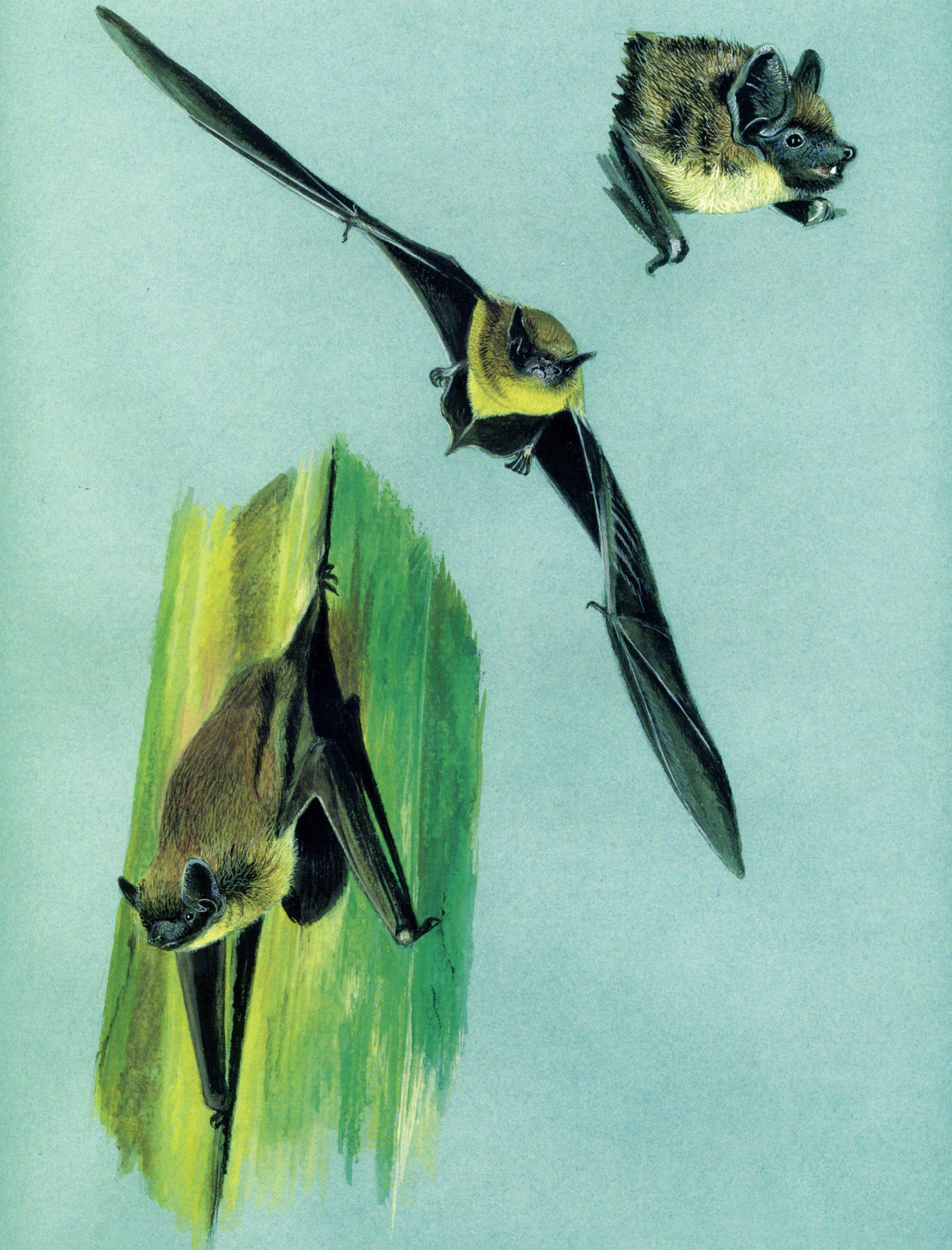 Serotino-comune-Eptesicus-serotinus