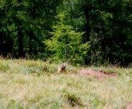 Studio sulla biologia della marmotta (Marmota marmota)