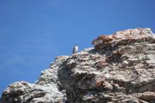 Il fringuello alpino (Montifringilla nivalis) e i cambiamenti climatici nel Parco